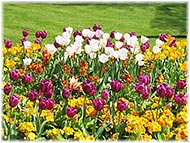 Picture of a flowers and tulips on Landscaping page